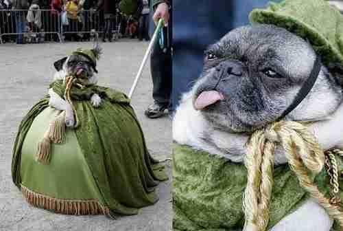 dinfo.gr - 26 φωτογραφίες που αποδεικνύουν ότι τα κουτάβια ντύνονται καλύτερα τις απόκριες