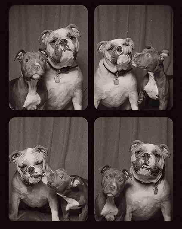dinfo.gr - Τι λέτε να συμβεί αν βάλετε δυο Πιτ Μπουλ στο ίδιο photo booth;