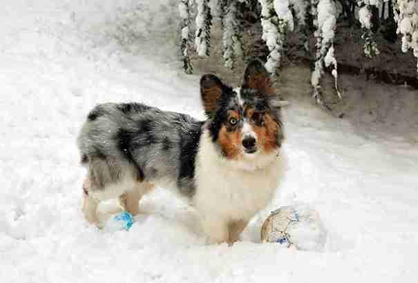 dinfo.gr - Τι θα πάρετε αν διασταυρώσετε δυο ράτσες σκύλων με μοναδικά χαρακτηριστικά;