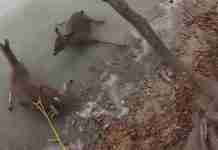 dinfo.gr - Δυο ελάφια είχαν κολλήσει στο πάγο μιας λίμνης. Μέχρι που κάποιος το έμαθε από το Facebook.