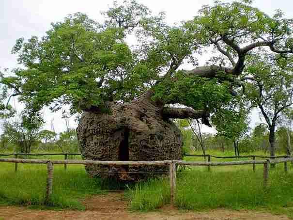 dinfo.gr - 15 δέντρα που κρύβουν μερικά πολύ μεγάλα μυστικά.