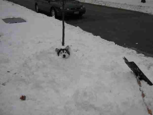 dinfo.gr - Το Χάσκι που το μεγάλωσαν γάτες και νομίζει ότι είναι γάτα!