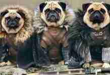Τα κουτάβια του Westeros: Τρια Παγκ αναπαριστούν το Game Of Thrones