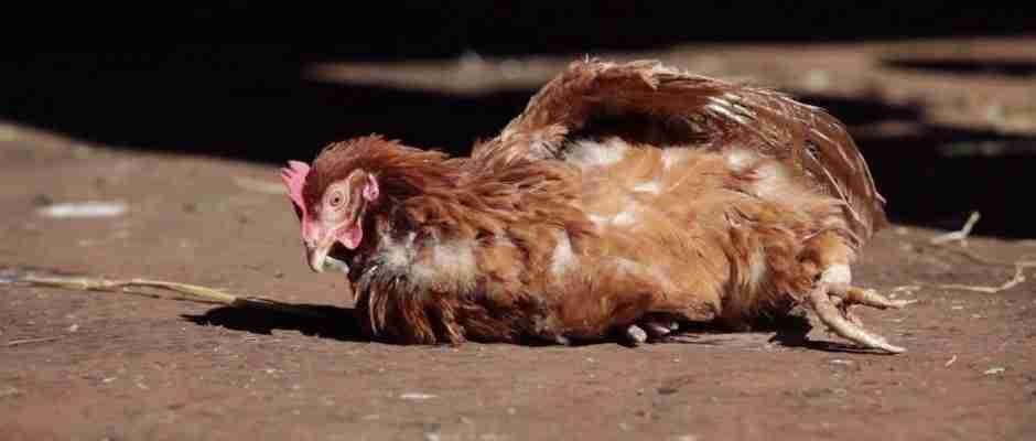Αυτή η κότα απελευθερώθηκε από το κλουβί της και πατάει για πρώτη φορά στο έδαφος. Δείτε την αντίδραση της..
