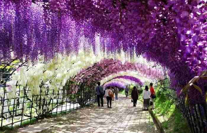 Wisteria Tunnel, Ιαπωνία