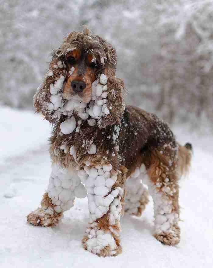 # 10 Η πρώτη μέρα στο χιόνι αυτού του Cocker Spaniel