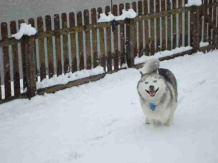 # 14 Αυτό το 8χρονο Χάσκυ Σιβηρίας βλέπει χιόνι για πρώτη φορά