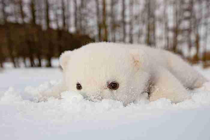 # 1 Ένα μωρό πολική αρκούδα βλέπει χιόνι για πρώτη φορά