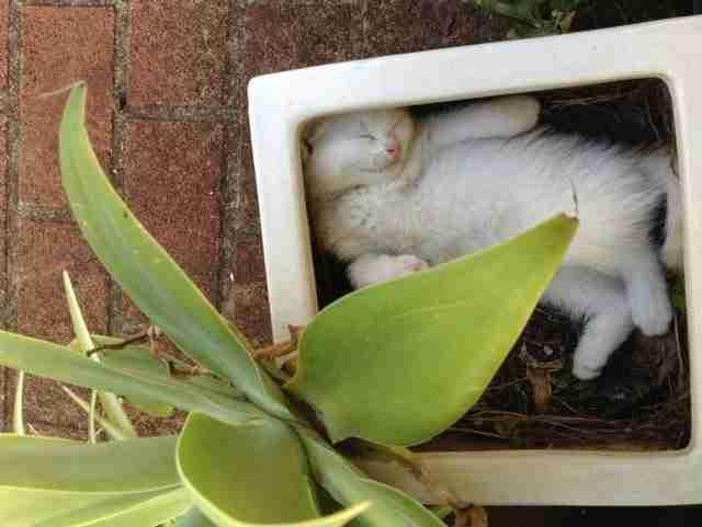 Αυτή τη γάτα που βρέθηκε από τον ιδιοκτήτη της να κοιμάται στη γλάστρα