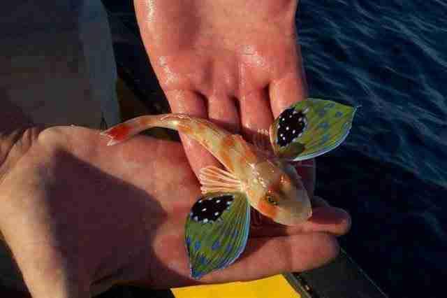 Αυτό το όμορφο ψάρι που ονομάζεται 'sea robin'