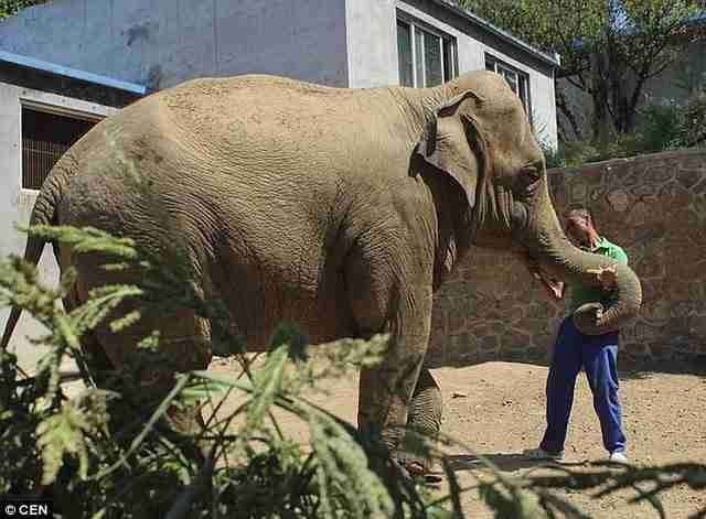 ένας θηλυκός ελέφαντας επιχείρησε να σκοτώσει το μωράκι της λίγο μετά τη γέννησή του.