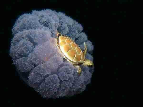 Μια μικροσκοπική θαλάσσια χελώνα βολτάρει πάνω σε μια μέδουσα.