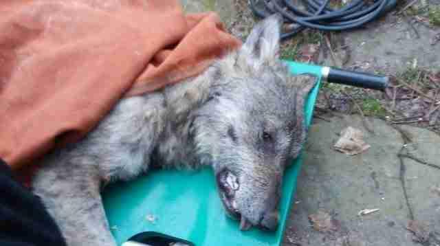 Βρήκαν ένα ετοιμοθάνατο λύκο στα παγωμένα νερά ενός ποταμού. Δείτε το απίστευτο βίντεο..
