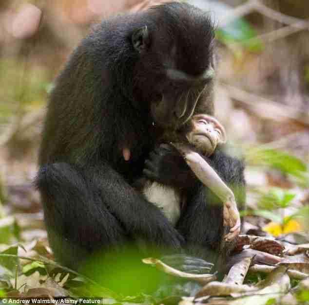 Αυτή η μακάκος αρνείται να αποχωριστεί το νεκρό μωρό της! Οι εικόνες είναι σπαρακτικές!