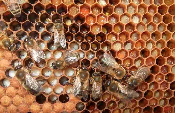 Οι πρώτες 21 ημέρες της ζωής μιας μέλισσας σε ένα υπνωτικό βίντεο 60 δευτερολέπτων