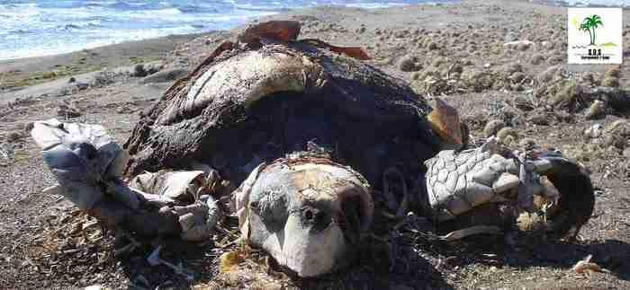 Χελώνες που σκοτώθηκαν από χημικά απόβλητα στην Τυνησία