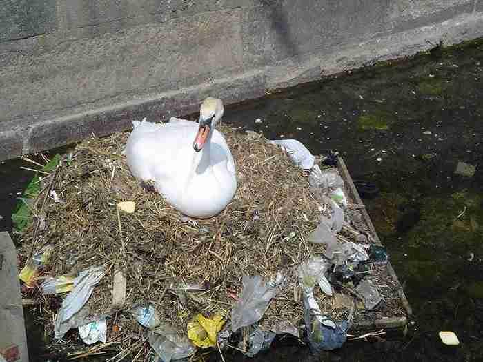 Ένας Κύκνος έχτισε φωλιά χρησιμοποιώντας πλαστικά σκουπίδια