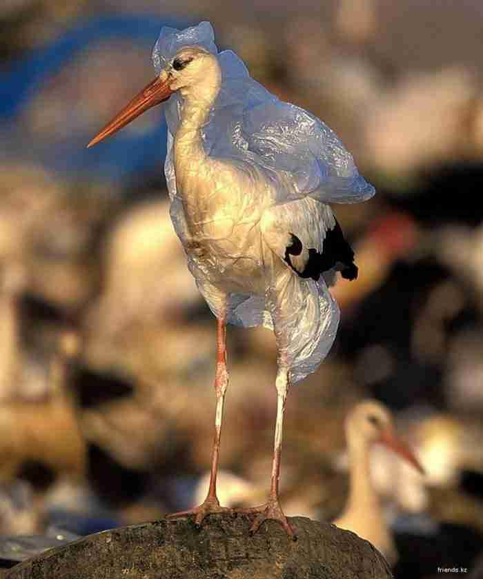 Ένας πελαργός παγιδευμένος σε πλαστικά σκουπίδια