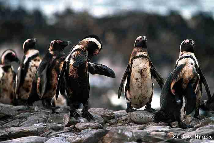 Πιγκουίνοι που βούτηξαν σε πετρελαιοκηλίδα