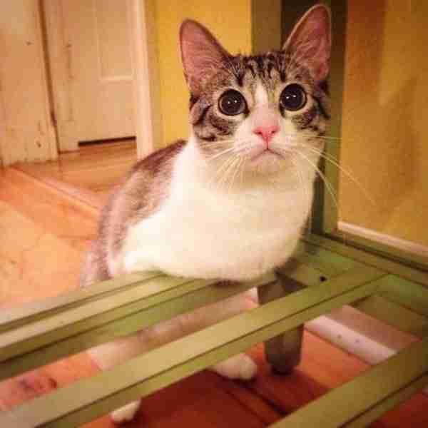 Η Roux, η αξιολάτρευτη γάτα με τα δύο πόδια, θα κάνει ένα άλμα και θα τρυπώσει στη καρδιά σας..
