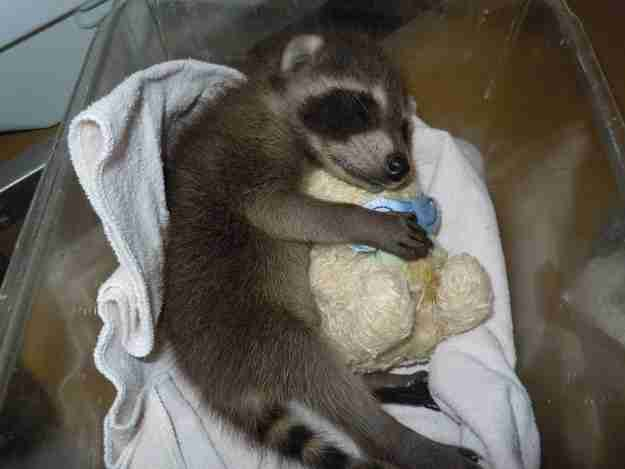 Αυτό το ρακούν που δεν μπορεί να κοιμηθεί χωρίς το αρκουδάκι του!