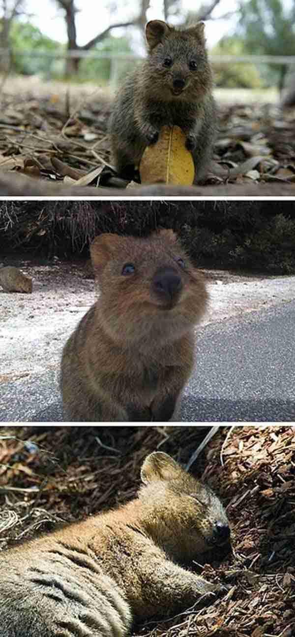 Αυτό το quokka, μάλλον το πιο ευτυχισμένο ζώο στον πλανήτη!