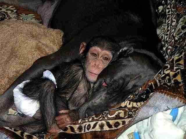 Όταν μια Χιμπατζής πέθανε, άφησε ορφανό το μωρό της. Δεν μπορείτε να φανταστείτε ποιος το υιοθέτησε!