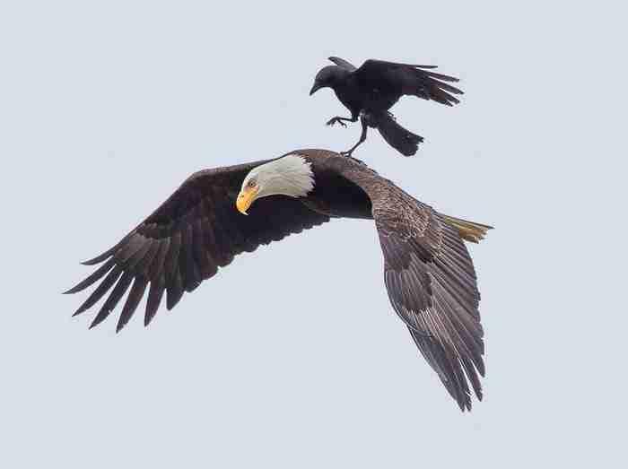 Ένα κοράκι βολτάρει στη πλάτη ενός αϊτού. Δείτε τις σπάνιες φωτογραφίες..
