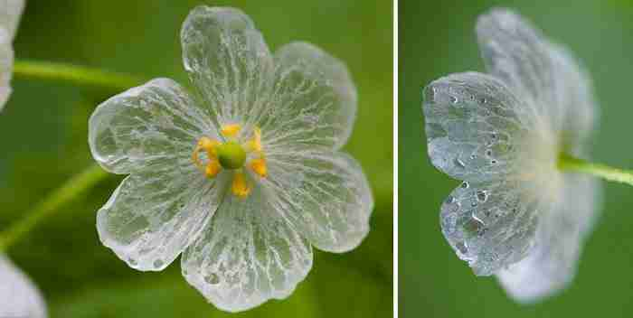 Υπάρχει ένα πανέμορφο λουλούδι που γίνεται διάφανο όταν βρέχει!