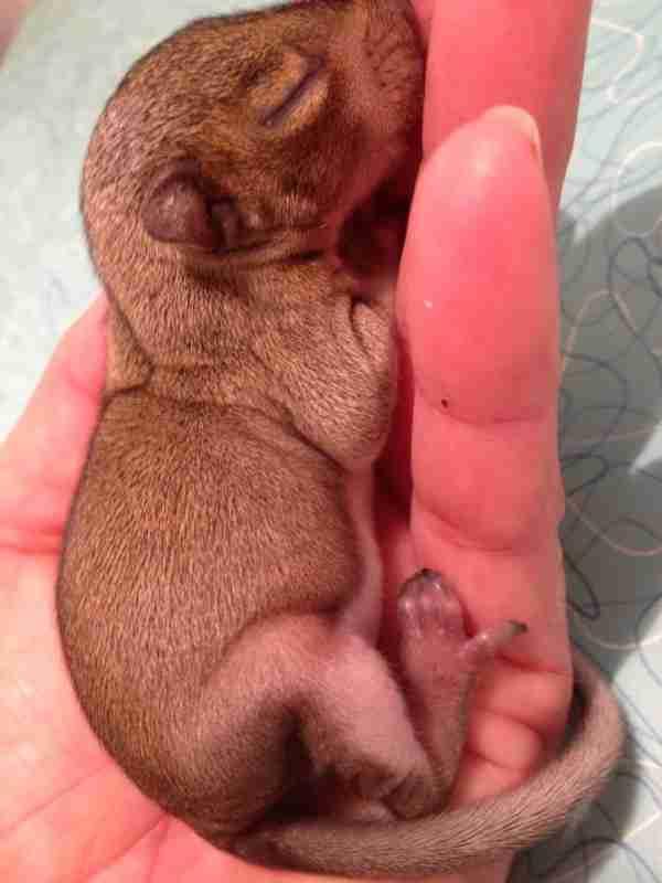 Δύο εβδομάδες αργότερα, ο μικρούλης έμοιαζε όλο και περισσότερο με σκίουρο.