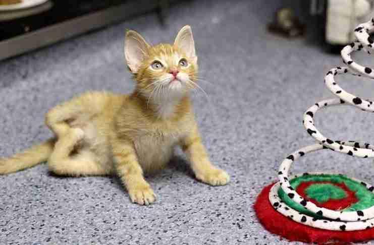 Αυτό το γατάκι γεννήθηκε με τα πίσω πόδια ανάποδα. Κατάφερε όμως να περπατήσει. Διαβάστε την συγκινητική ιστορία του