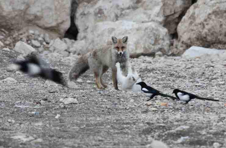 Ένας άντρας που ψάρευε στις όχθες της λίμνης Βαν, στην Τουρκία, είδε μια αλεπού να κυνηγάει και να πιάνει μια γάτα.