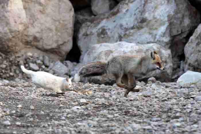 Με μεγάλη έκπληξη του όμως στη συνέχεια είδε να συμβαίνει και το αντίθετο! Η γάτα άρχισε να κυνηγάει την αλεπού!