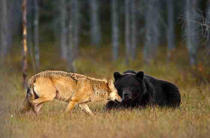 """""""Είναι πολύ ασυνήθιστο να βλέπεις μια αρκούδα και ένα λύκο να κάνουν κάτι σαν αυτό""""."""