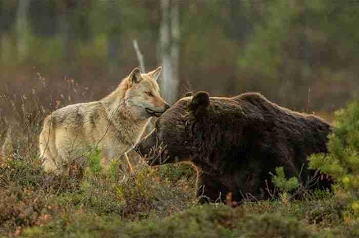 Φιλανδός φωτογράφος καταγράφει την ασυνήθιστη φιλία μεταξύ ενός λύκου και μιας αρκούδας
