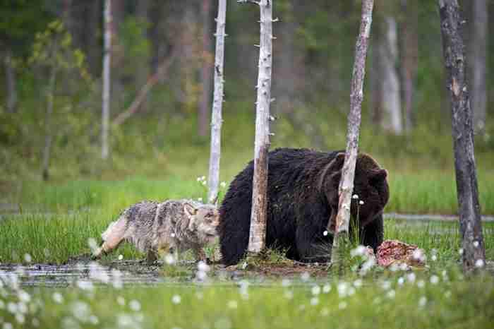 Ο Rautiainen φωτογράφιζε τον θηλυκό γκρίζο λύκο και την αρσενική καφέ αρκούδα κάθε βράδυ για δέκα ημέρες.