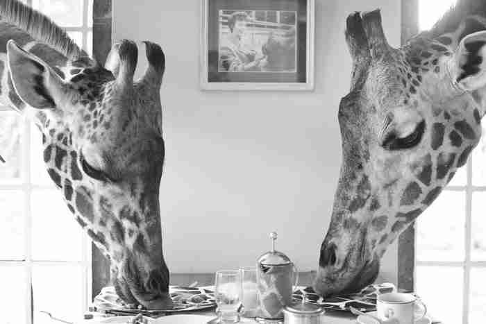 Χρειάζεται προσοχή όμως στο τι θα φάνε. Οι επισκέπτες ενημερώνονται να τις ταΐζουν μόνο λαχανικά.