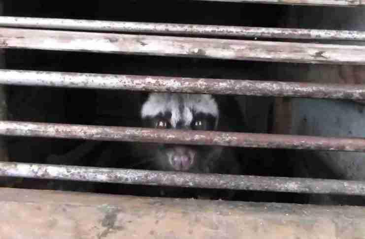 Η αυξημένη ζήτηση για τον συγκεκριμένο καφέ έχει δημιουργήσει μια βιομηχανία κακοποίησης ζώων.