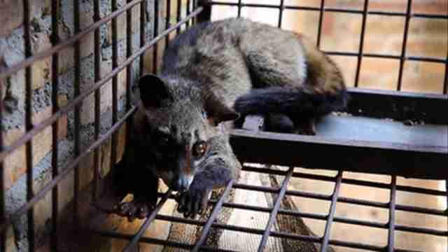 Η μοσχογαλή είναι ένα μικρό νυκτόβιο ζώο που μοιάζει με γάτα και ζει στα τροπικά δάση της Ασίας.