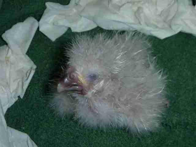 Το μικρό πουλάκι μεγαλώνει κανονικά και όλα βαίνουν καλώς.