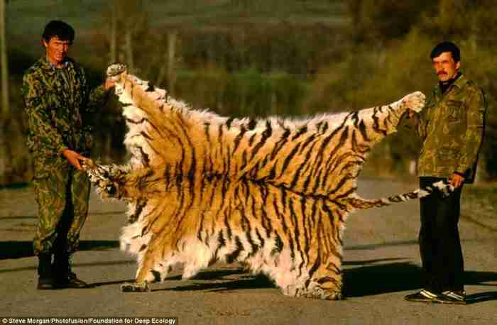 Λαθροκυνηγοί ποζάρουν με υπερηφάνεια κρατώντας τη γούνα ενός τίγρη της Σιβηρίας.