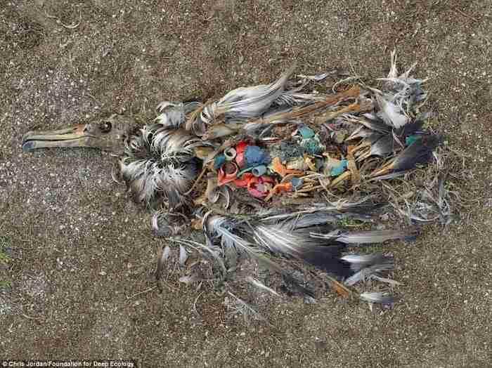 Ένα νεκρό άλμπατρος δείχνει τι συμβαίνει όταν πετάμε στη φύση τα σκουπίδια μας. Ένας ζωντανός κάδος απορριμάτων.