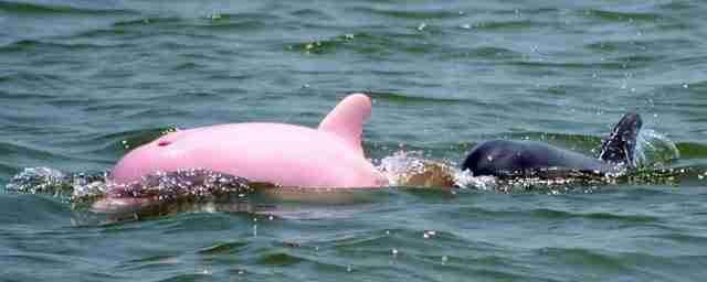 Ένας ψαράς εντόπισε και κατέγραψε με την κάμερα του ένα ροζ δελφίνι! Δείτε τις φωτογραφίες του