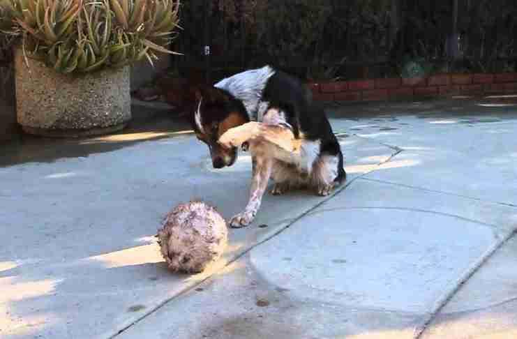 Πολλά σκυλιά κάνουν τρικ. Αυτό που κάνει όμως αυτό το σκυλί δεν το έχετε ξαναδεί!