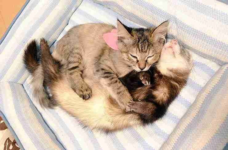 Αυτό το γατάκι από τότε που το υιοθέτησαν 5 κουνάβια νομίζει ότι είναι και αυτό κουνάβι!