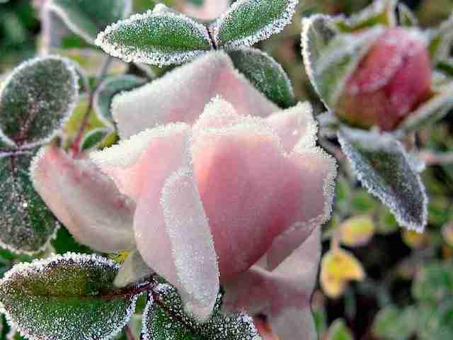 Ένα παγωμένο τριαντάφυλλο