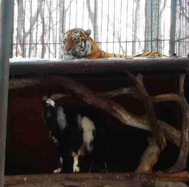 Δώσανε μια κατσίκα σε μια τίγρη για να τη φάει. Το αποτέλεσμα δεν το περίμεναν ούτε οι ίδιοι