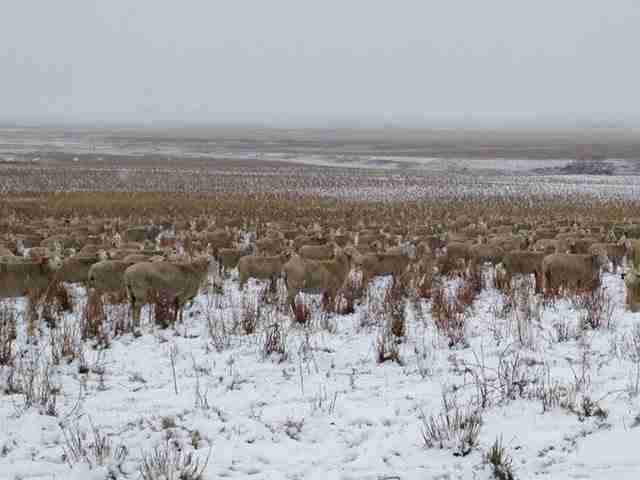 Υπάρχουν 550 πρόβατα σε αυτή τη φωτογραφία. Μπορείτε να τα βρείτε;