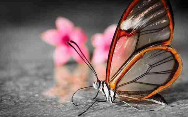 Η πεταλούδα με τα διάφανα φτερά!