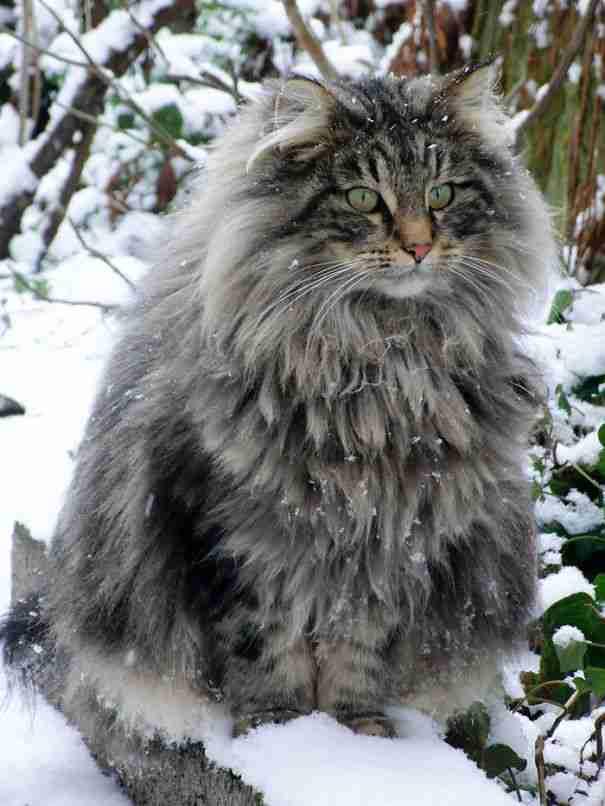 22 από τις πιο μαλλιαρές γάτες στον κόσμο.